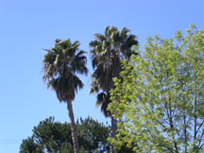 Palm trees4